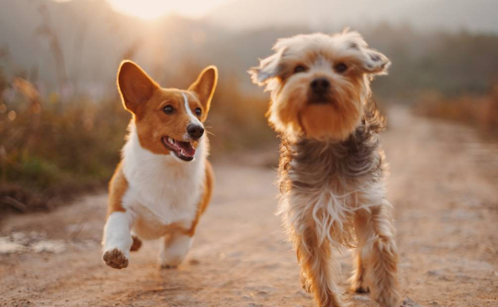 2 happy dogs galloping
