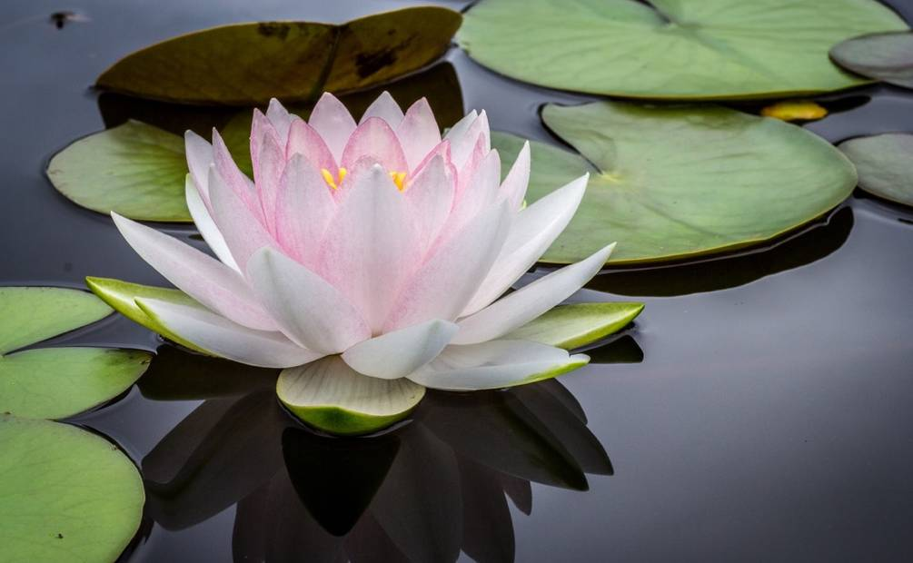 water lily flotting on the water