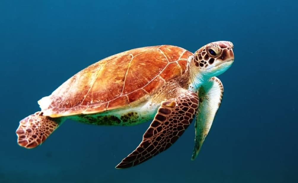 tortue dans la mer